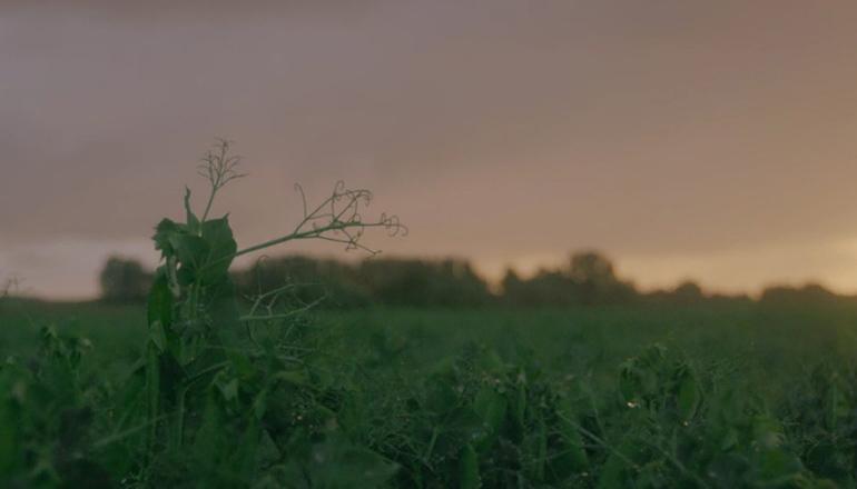 Ärtfält i solnedgång