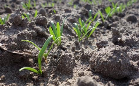 Kleine Spinatpflanzen auf einem Feld