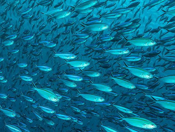 Fischschwarm im Meer