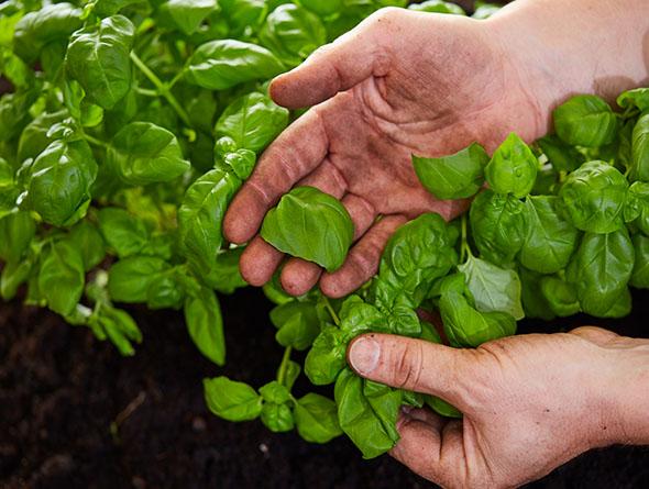 Hände die Basilikumpflanze berühren