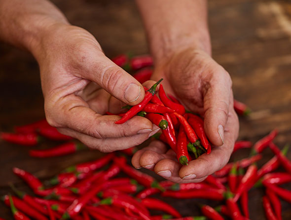 Hände die kleine rote Chillis halten