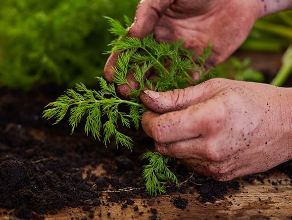 Hände die Dillpflanze berühren