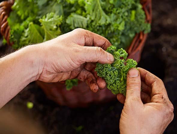 Hände die Grünkohlblätter aus einem Korb holen