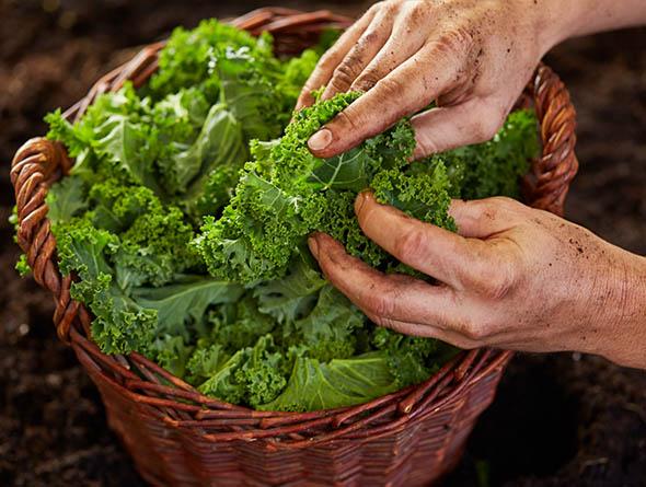 Hände die Grünkohlblätter in einem Korn berühren