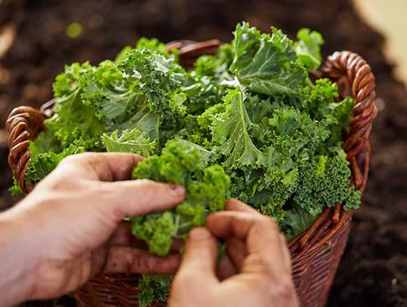 Hände die Grünkohl in einem Korb berühren