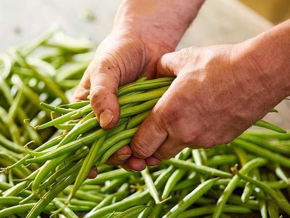 Frische Bohnen in Händen