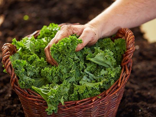 Hand greift in einen Korb mit Grünkohl