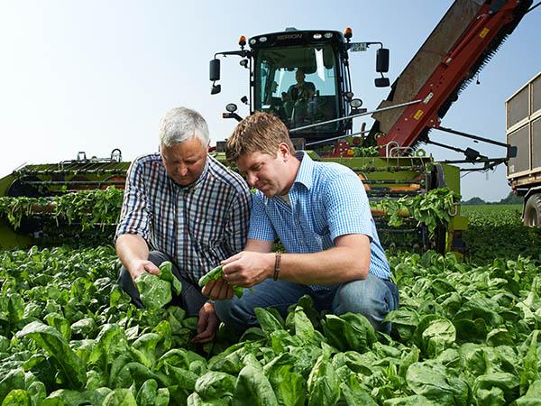 Zwei Männer begutachten Spinatblätter