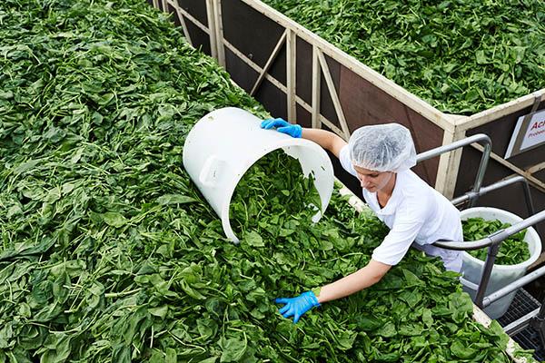 Spinatblätter werden sortiert