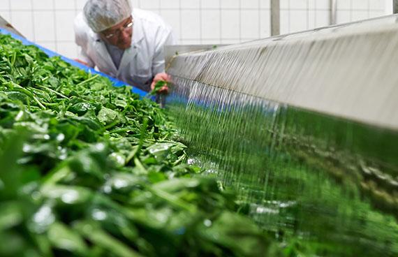 Spinatblätter werden unter Aufsicht gewaschen