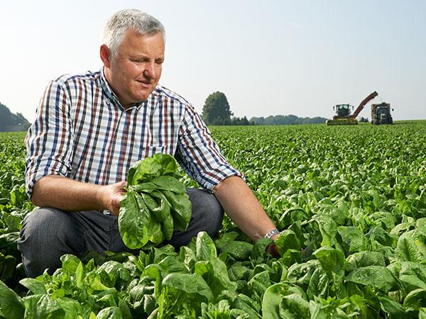 Mann pflückt Spinat auf Feld