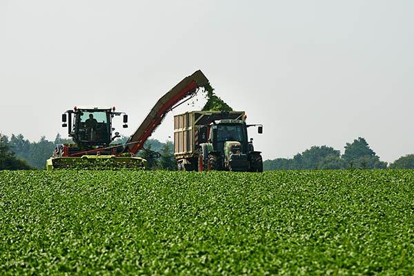 Spinaternte mit einem Traktor