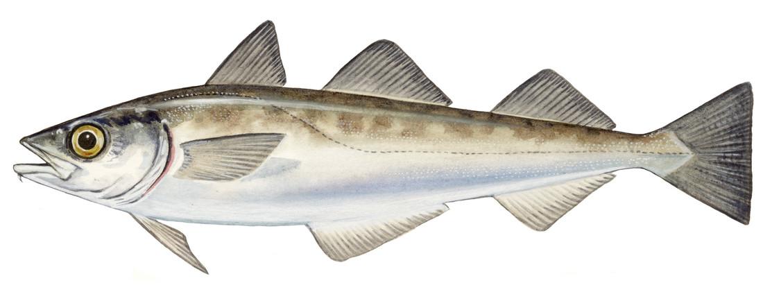 Alaska Koolvis