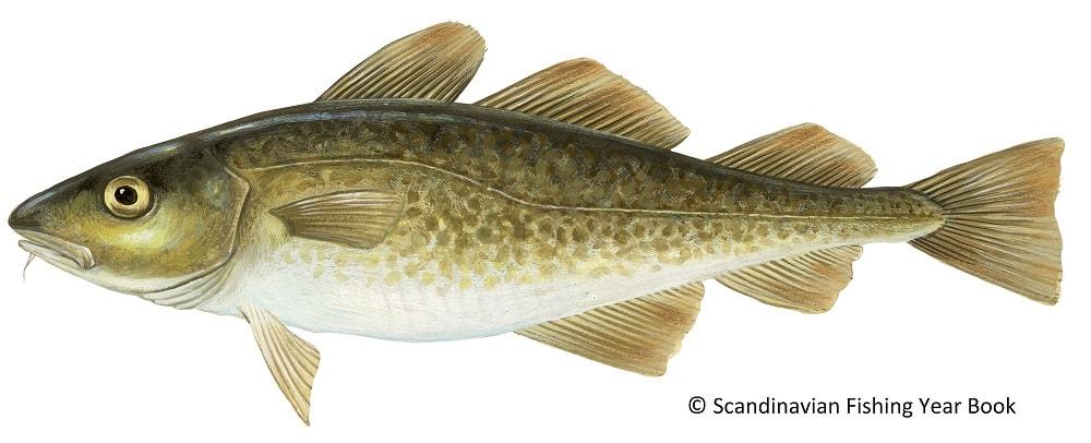 poisson gadus morhua
