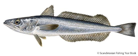 Merluccius Capensis Paradoxus