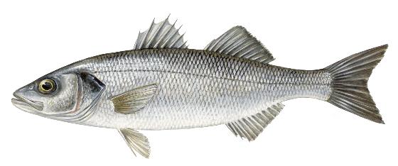 Gezeichneter Fisch
