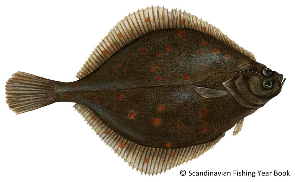 peixe pleuronectes