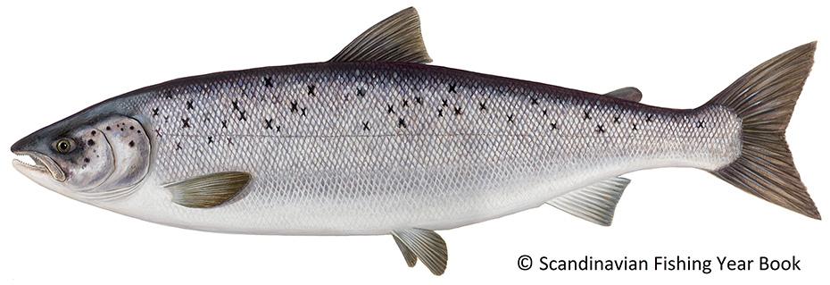 fisch herkunft salmo salar