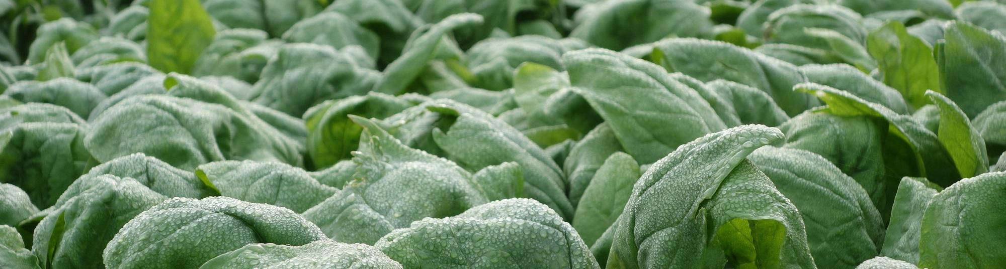 Ongeoogste spinazie