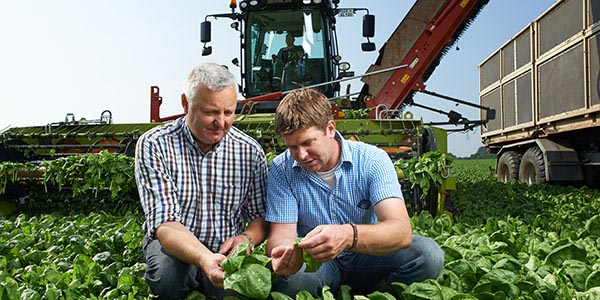 Duitse iglo boeren op de spinazievelden